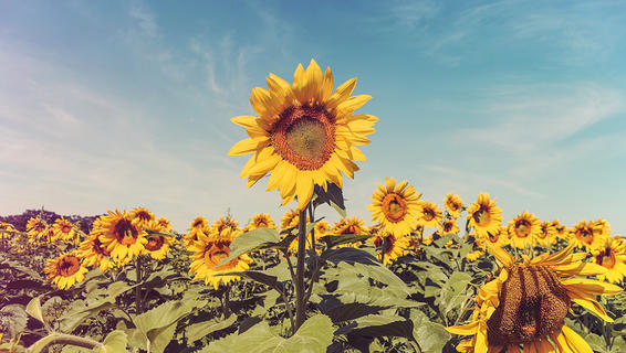 #yellow #sunflowers #organiclife